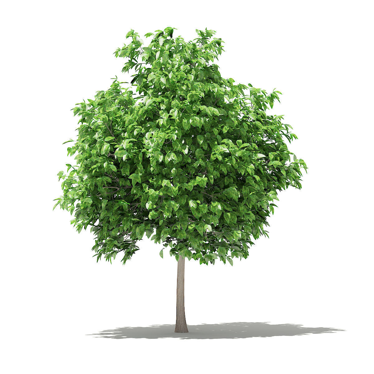 Pomelo Tree   3D model