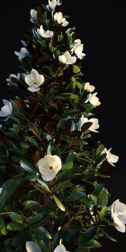 magnolia grandiflora 3d model animated max fbx 1