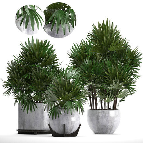rhapis palms 3d model max obj mtl fbx 1