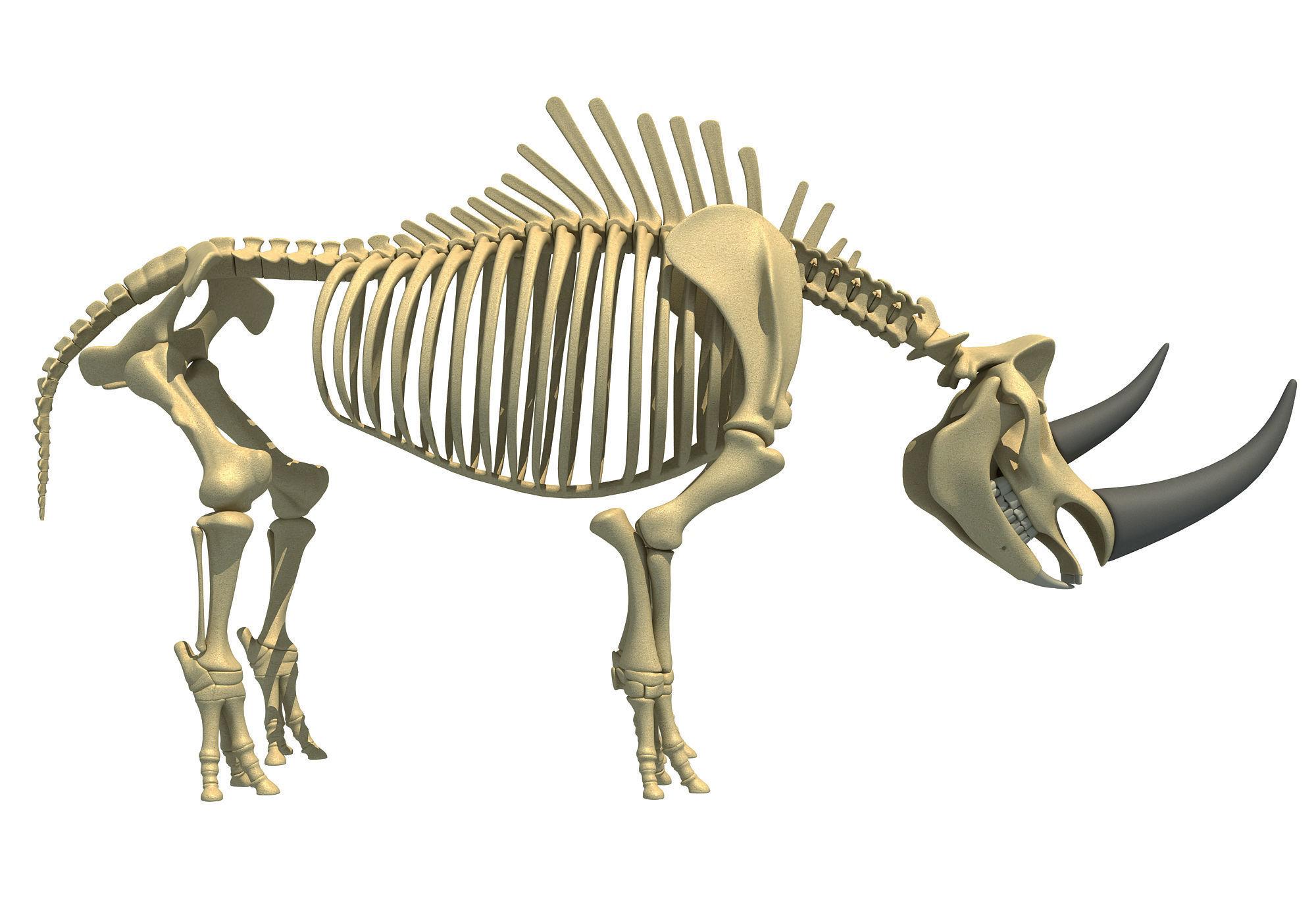 Rhino Skeleton