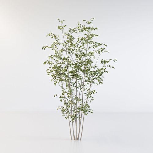 fraxinus griffithii tree 2 3d model obj mtl fbx c4d 1