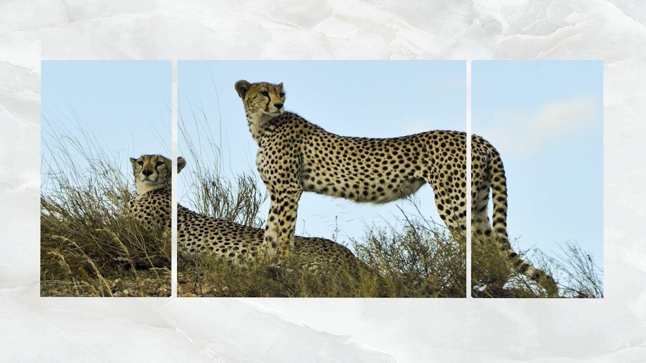Triptych Wall Art Cheetahs
